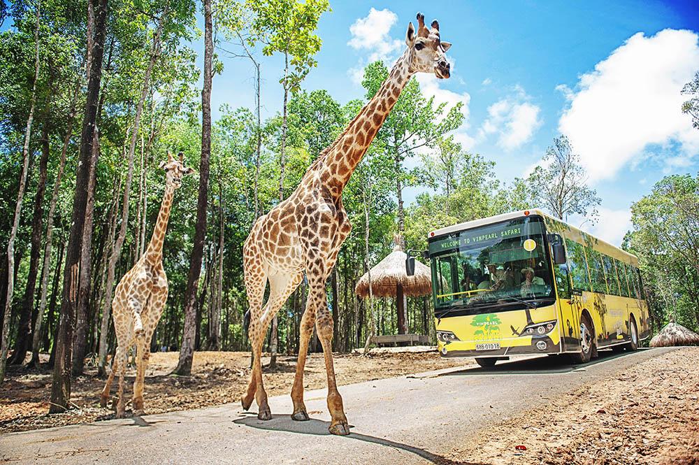 safari-ho-tram